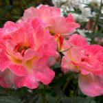 2018-05-roses-01